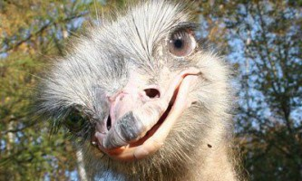 Розведення і вирощування страусів
