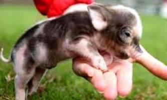 Розведення і вирощування в`єтнамських свиней для бізнесу