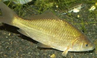 Розведення карася в ставку і малих водоймах