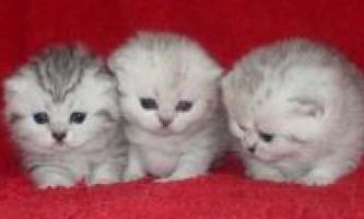 Розведення кошенят. В`язка