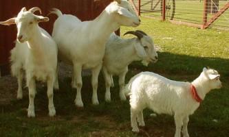 Розведення кіз: все, що потрібно знати