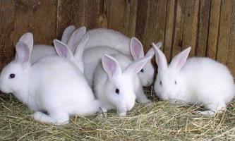 Розведення кроликів в домашніх хозяйствах.відео розведення кроликів