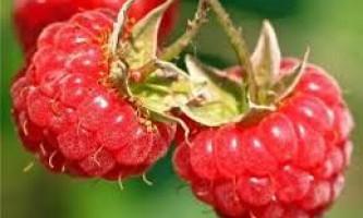 Розведення малини в невеликих фермерських господарствах і дачах