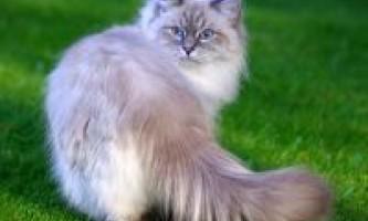 Розведення невських маскарадних кішок (в`язка)