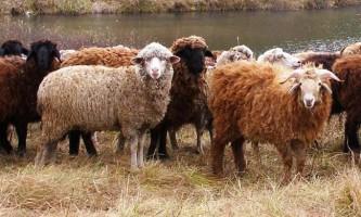 Розведення овець в домашніх умовах