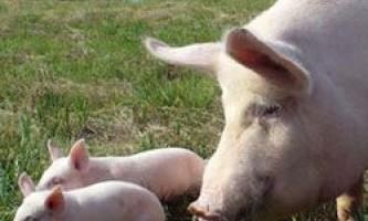 Розведення, утримання і продуктивні характеристики великої білої породи свиней