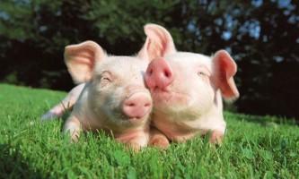 Розведення свиней в домашніх умовах