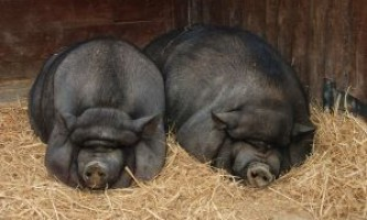 Розведення в`єтнамських вислобрюхих свиней