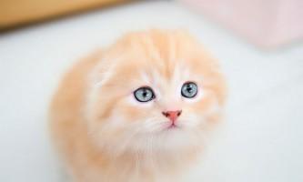 Розведення висловухих кішок - складний процес, до якого потрібно ретельно підготуватися