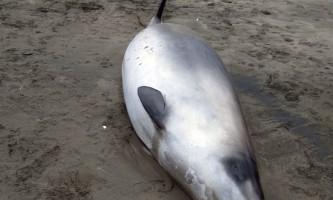 Рідкісний лопатозубий кит виявлений біля берега нової зеландії
