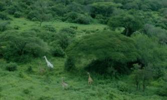 Рідкісні білі жирафи схожі на альбіносів