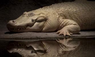 Рідкісний білий алігатор помер в одному із зоопарків сша