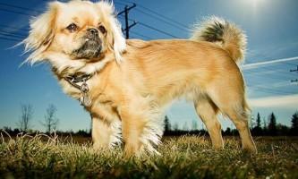 Рейтинг найбільших порід собак у світі