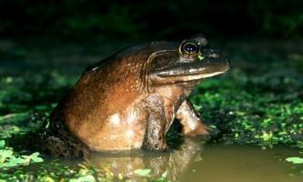 Рекорд жаба-бика надихнув зоологів на нове відкриття