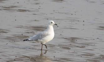 Реліктова чайка - недавно відкритий і рідкісний вид птахів
