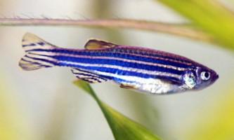 Реріо - генетично змінена даніо