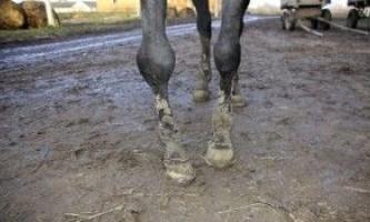 Ревматизм коней: причини, симптоми, лікування