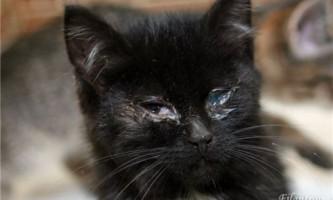 Ринотрахеит у кішок - лікування, причини захворювання, симптоми і попередження