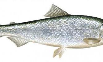 Ряпушка європейська: фото риби