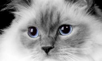 """Регдолл (ragdoll) - кішка """"тряпічная лялька"""""""