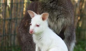 Народився кенгуренок-альбінос