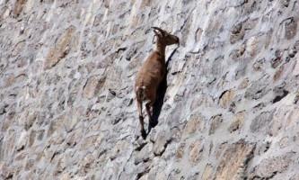 Рогаті скелелази козел альпійський