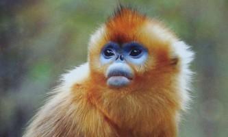 Золотиста кирпоноса мавпа - представник сімейства мартишкових