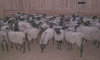 Романовська вівця може жити навіть на камчатці!