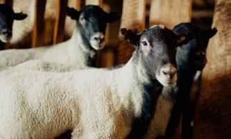 Романовська порода овець