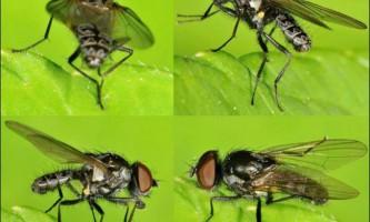 Паросткова муха - небезпечне для сільського господарства комаха