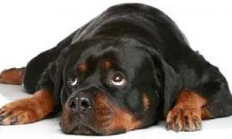 Ротвейлер: характер собаки, утримання та виховання ротвейлера.