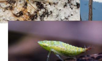 Трояндова цикадка або комаха-привид