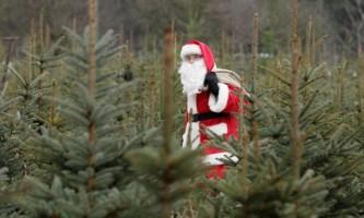 Різдвяні ялинки з німецької ферми mellensee