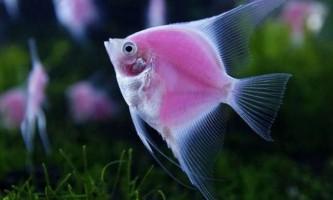 Рожеві флуоресцирующие рибки