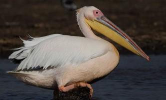 Рожевий пелікан. Фото рожевого пелікана