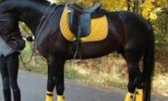 Російська рисиста порода коней
