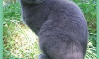 Русскаяголубая кішка.