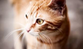Блювота і нудота у кішки: причини, лікування і профілактика