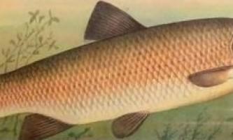 Риба білий амур фото опис