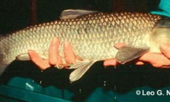 Риба чорний амур (mylopharyngodon piceus)