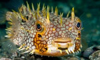Риба їжак - колючий смертельно небезпечний куля