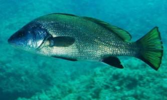 Риба горбиль