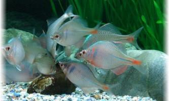 Риба гірчак: як розмножитися за допомогою молюсків?