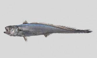 Риба гренадер (малоглазий макрурус)