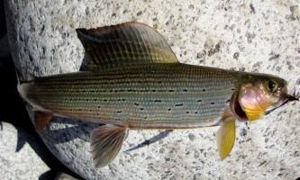Риба харіус: що відомо про неї?