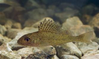 Риба йорж: опис і фото прісноводної жительки