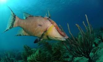 Риба кабан, hogfish