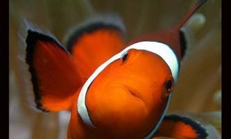 Риба-клоун (amphiprioi ocellaris)