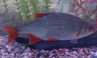 Риба краснопірка: фото, цікаві факти