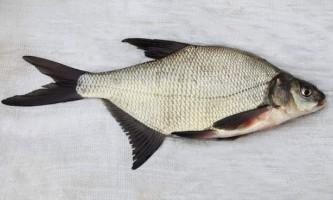 Риба лящ - єдина в своєму роді